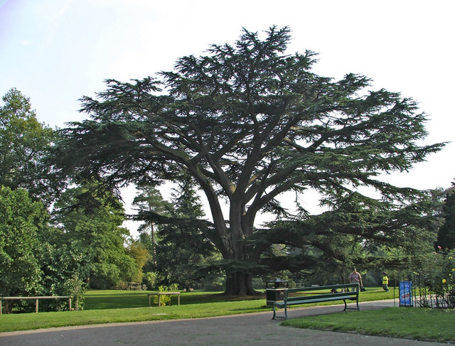 Cedar_of_Lebanon,_Forty_Hall,_Enfield_-_geograph.org.uk_-_708717.jpg